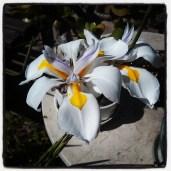 Mystery iris.
