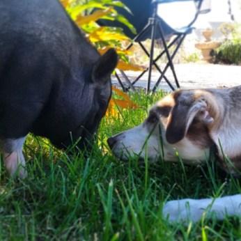 Dog, meet pig.