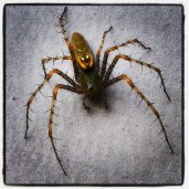 Green sphinx spider! A hunter in the garden.