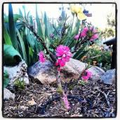New dwarf peach tree in bloom.