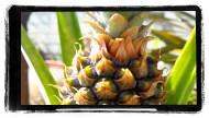 Pineapple ripening
