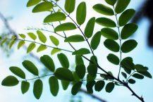 Black Locust leaves