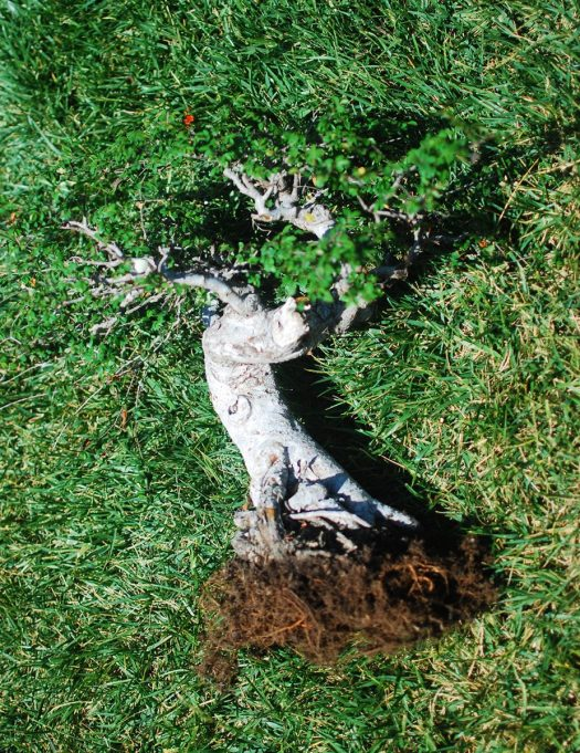 11_Chinese Elm Trimmed Roots 2