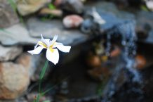 Fairy Iris near the Waterfall