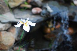 Fairy Iris near the Waterfall