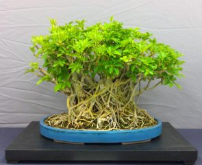 Umbrella Tree Bonsai 2_Balboa Park Bonsai Club Show 2013