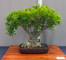 Umbrella Tree Bonsai_Balboa Park Bonsai Club Show 2013
