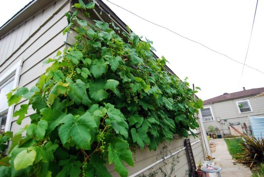 Grapevine Patio_Wall of Grapes 2