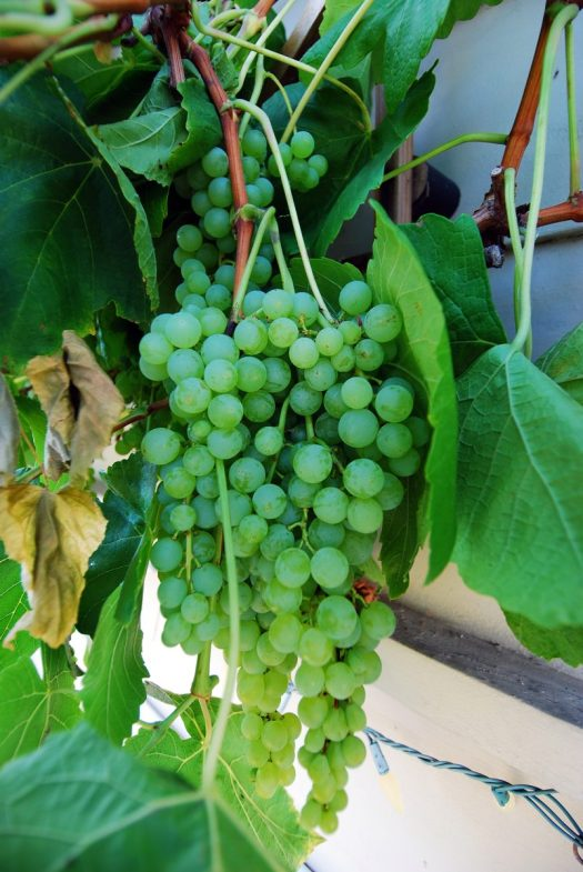 Grapevine Patio_Wall of Grapes 3