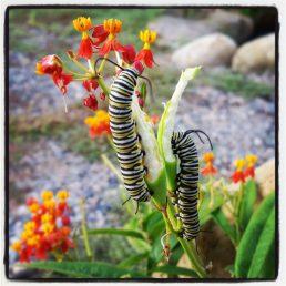 Monarch caterpillars eating milkweed