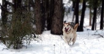 Diamond Dogs 01_Sashas First Run in the Snow