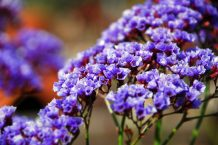 Sea Lavender (or Limonium Perezii)