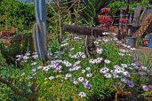 Daisy Bushes (or Osteospermum)