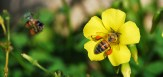 Yellow Wood Sorrel with Bees