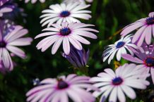 Daisy Bushes (or Osteospermum)