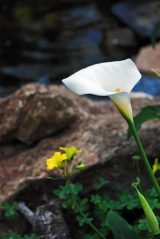 Calla Lilly