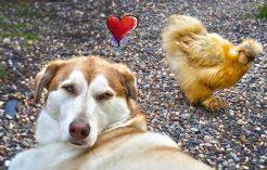 Dog Kisses Chicken-Chicken kicks dog in head_Feature Image