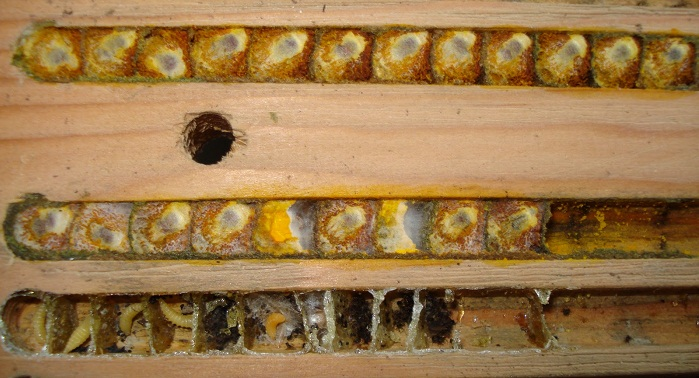 Wild bee cells. Via