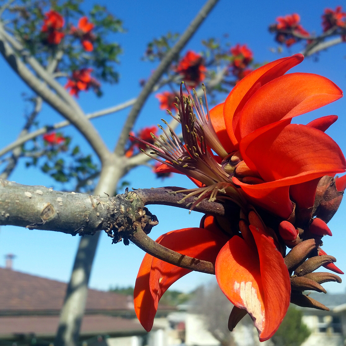 My Big Ass Lady: Update on the Coastal Coral Tree