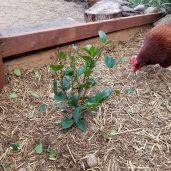 Camellia bush under attack