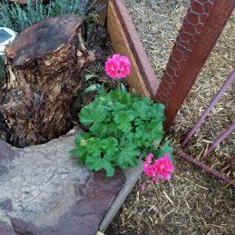 a failed geranium