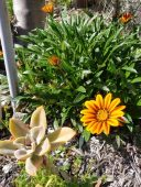 Gazania and succulent