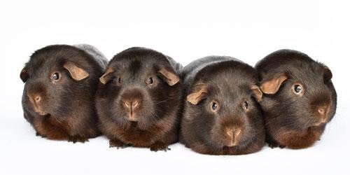 Fire marsvin af racen glathåret chokolade i bogen Mine Marsvin af dyrlæge Mette Lybek Rueløkke. Foto: Tine Kortenbach