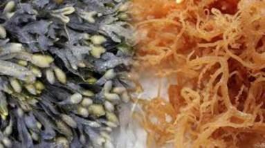 Benefits of Bladderwrack | Sea Vegetable - Ar-Rahmah Pharm LLC