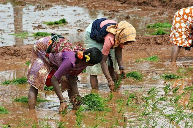 Contadini indiani risaie del Kerala