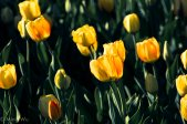 Tulips2013-7