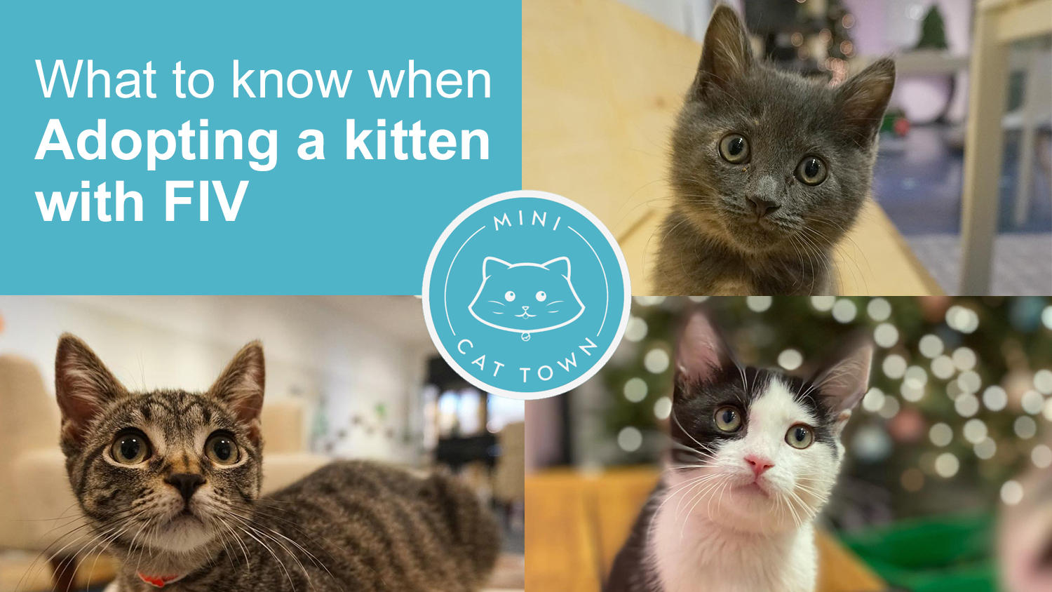 Featured image for article on What to know when Adopting a Kitten with FIV