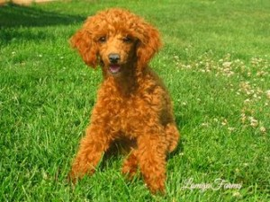 Mini Goldendoodle Monthly | of Lamgo Farms