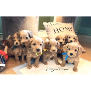 Mini Goldendoodle Monthly Of Lamgo Farms