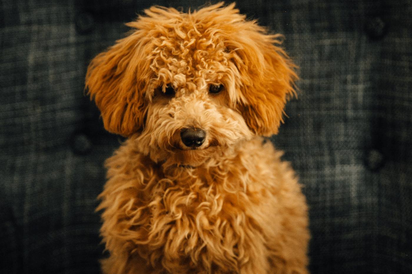 Meet Our Mini Goldendoodle Puppies | MiniGoldendoodlepuppies ca