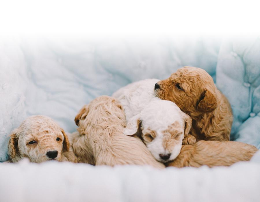 Mini Goldendoodles Toronto