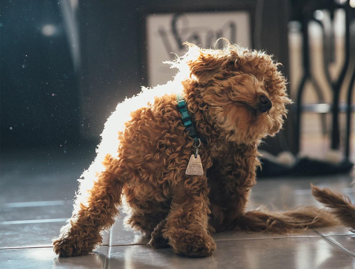 Cute Mini Goldendoodle dogs