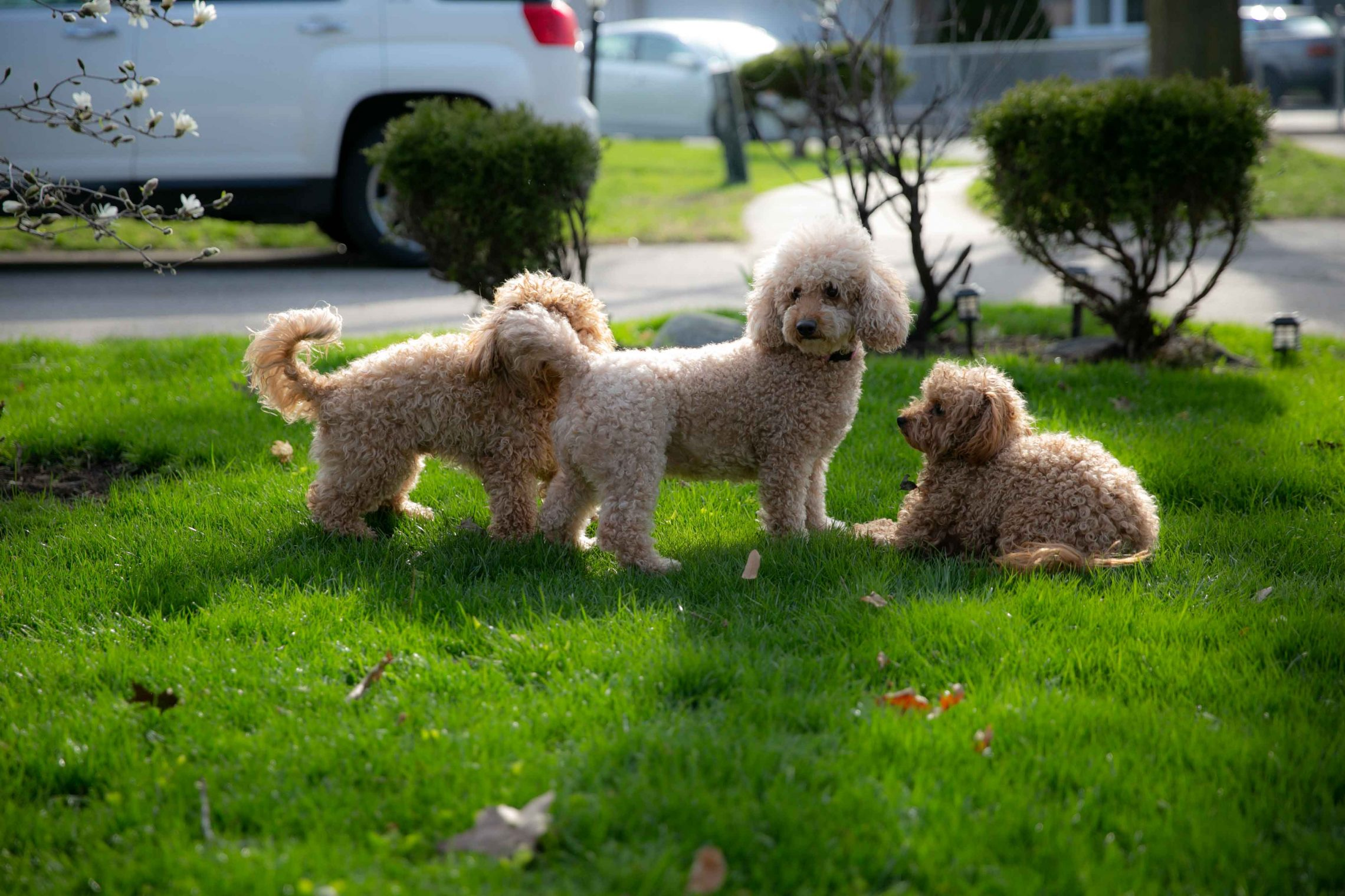 Bunny and friends - Mini Goldendoodle