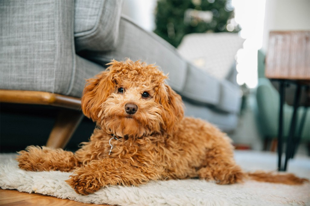 Mini Goldendoodle Puppy O'Henry