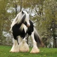 Black mares