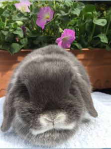 Chrissie - blue fox mini lop doe