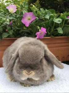 Hope - lilac otter mini lop doe