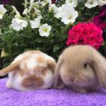 Orange butterfly and fawn baby mini lops