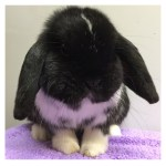 black mantle mini lop
