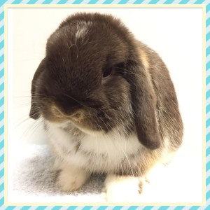 Buster - Chocolate otter mantle mini lop