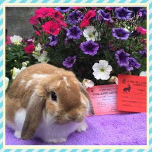 Felix - orange butterfly mini lop