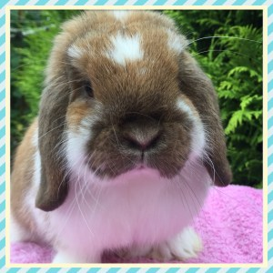 Jake - Sooty fawn butterfly mini lop