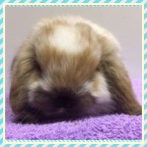 Baby Mini Lops in Lochgelly