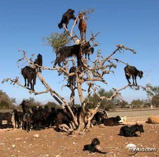 most bizarre phenomenon Climbing Goats in Morocco