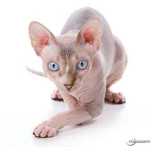 sphynx-kitten