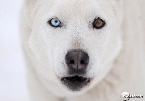 heterocromia cao branco_thumb[2]